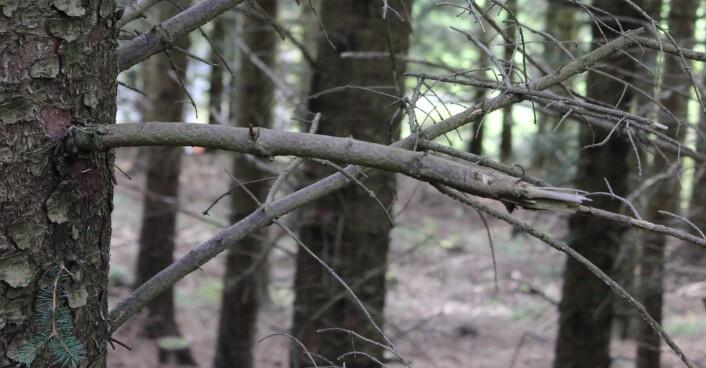 Denne sitkagrana i Kolvereid viser hvor lite lav det vokser på greinene i tette sitkagranfelt. (Foto: Olga Hilmo/NINA)