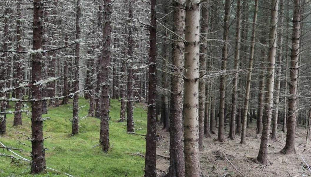Til venstre ser man bilde av plantefelt med gran og til høyre plantefelt med sitkagran. Bildene er tatt i Kolvereid i Nord-Trøndelag. (Foto: Olga Hilmo/NINA)