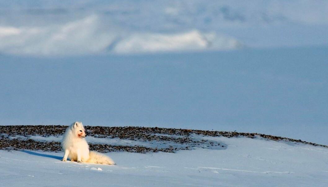 Fjellreven får i seg miljøgifter via dietten. Har har en fjellrev i vinterdrakt nylig spist kadaver. (Foto: Nicolas Lecomte)