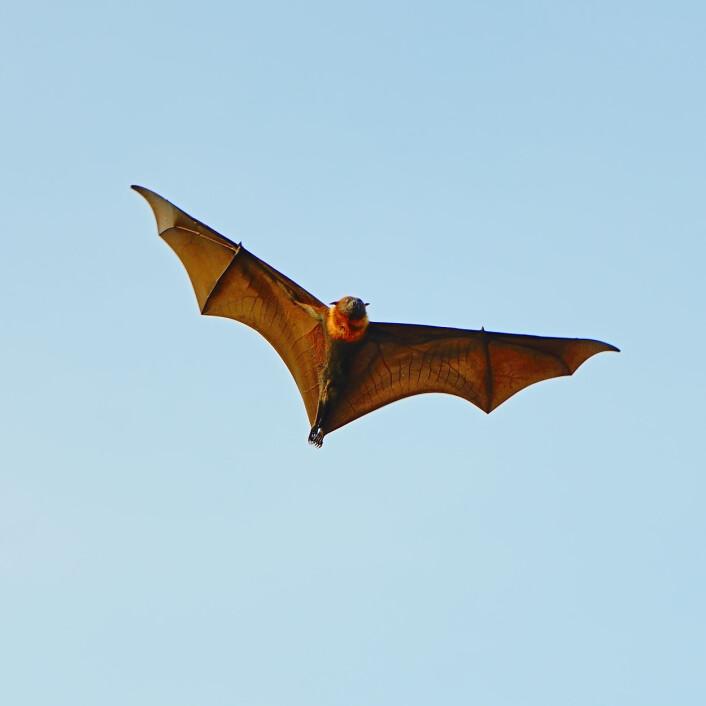 En flyvehund på vingene. (Illustrasjonsfoto: Colourbox)