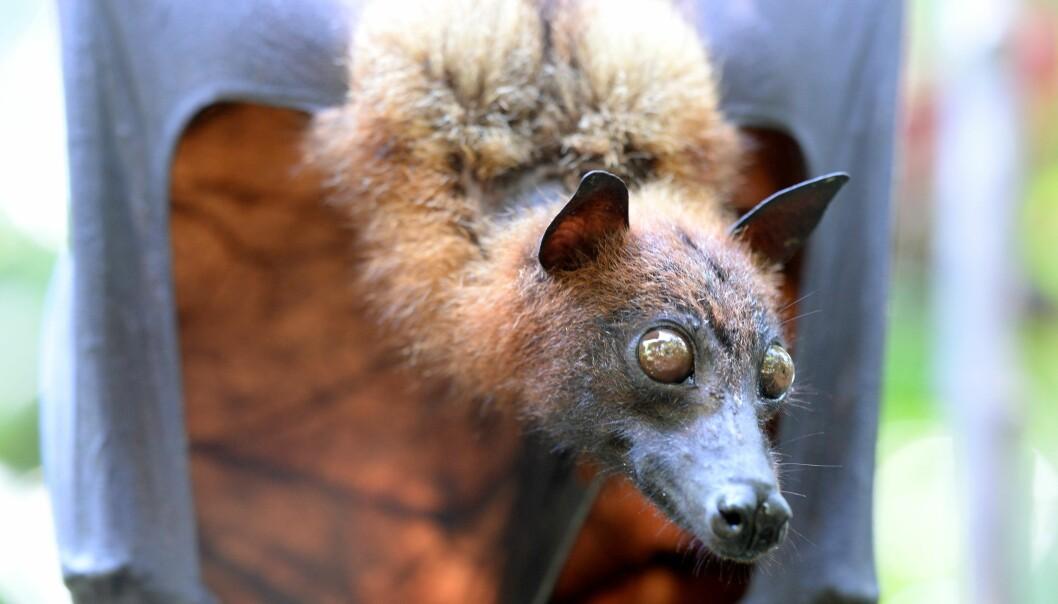 Thailandsk flyvehund, eller fruit bat, som de kalles på engelsk. (Illustrasjonsfoto: Colourbox)