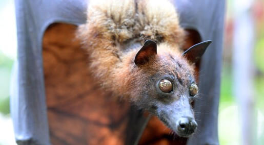 Hvordan sprer virus seg fra flaggermus til mennesker?