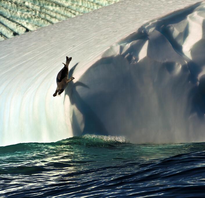Teknologien forskerne nå utvikler skal bli med selene ned i havdypet. (Foto: Audun Rikardsen)