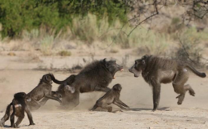 Kampen om hunnene kan bli stygg blant chacma-bavianer. (Foto: Elise Huchard)