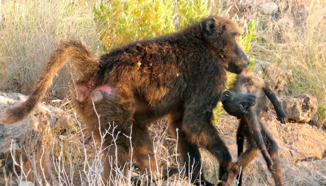 Hannbavianer av typen chacma dreper partnerens unger for å sikre at hunnen føder hans avkom. (Foto: Alice Baniel)