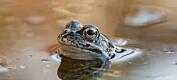 Ukas art: Buttsnutefrosk – vår vanligste frosk