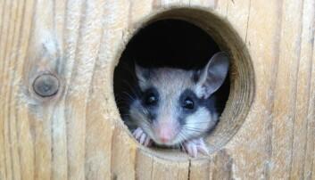En liten mus ved navn hagesyvsover bygger bo i trestammer og andre passende gjemmesteder. Om den ikke finner nok mat, sparer den energi ved å ta en lur. (Foto: Stefan Stumpfel/Vetmeduni Vienna)