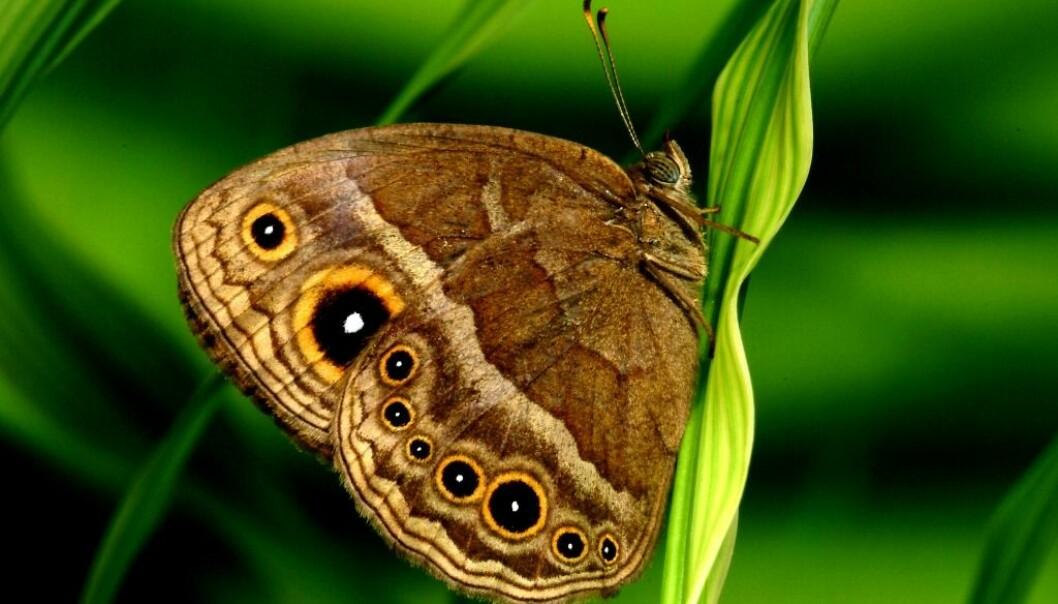 Sommerfuglen bycyclus anyana får store mørke øyne på vingene når den klekkes i varme sesonger.  (Foto: Oregon State University)