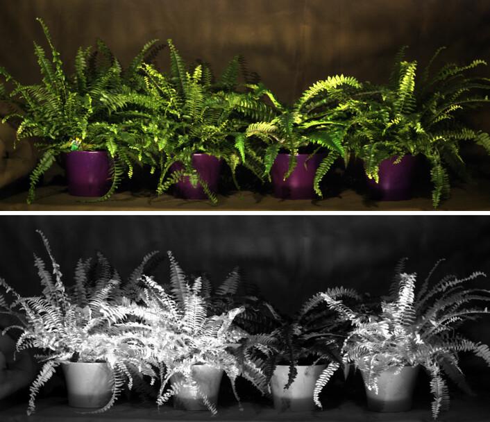 Øverst: Hvilken plante er kunstig? I synlig lys ser de like ut. Nederst: I en bestemt rødfarge lyser den kunstige planten opp. (Foto: Torbjørn Skauli, FFI)