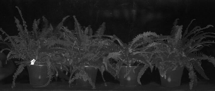 En dataanalyse av det hyperspektrale bildet får den kamuflasjefargede legomannen til å lyse opp. (Foto: Torbjørn Skauli, FFI)