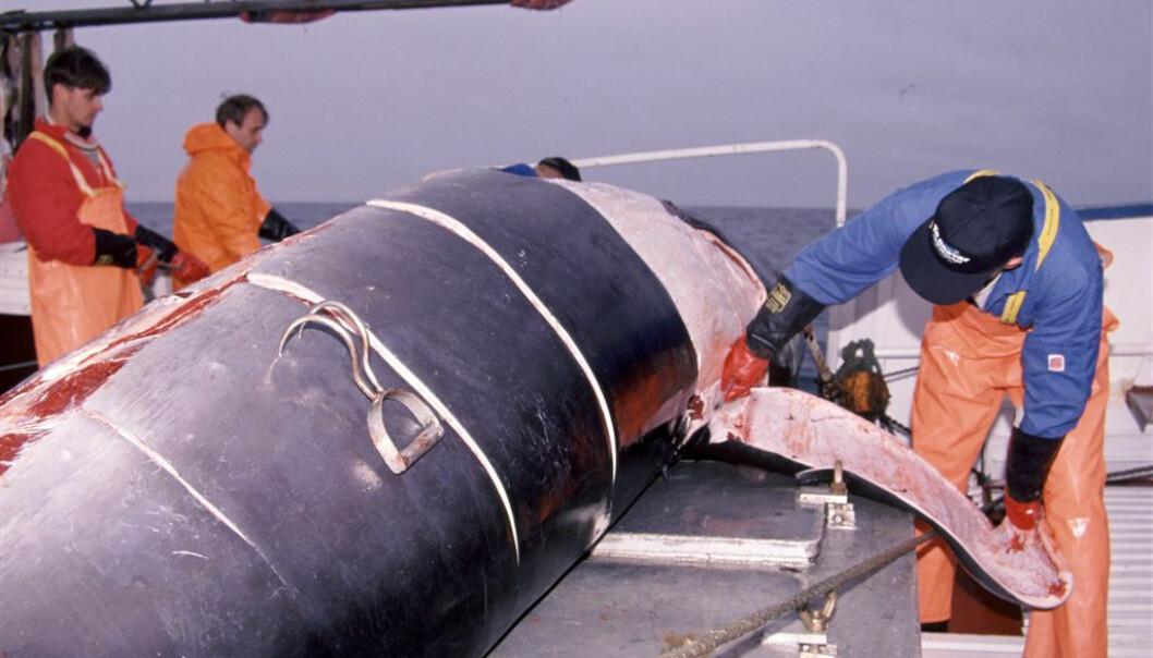 Spekket skjæres av nyfanget vågehval. DNA-analyser viser at det er unødvendig med fem fangstområder.  (Foto: Bjørn Tore Forberg, Fiskeriforskning/Havforskningsinstituttet)