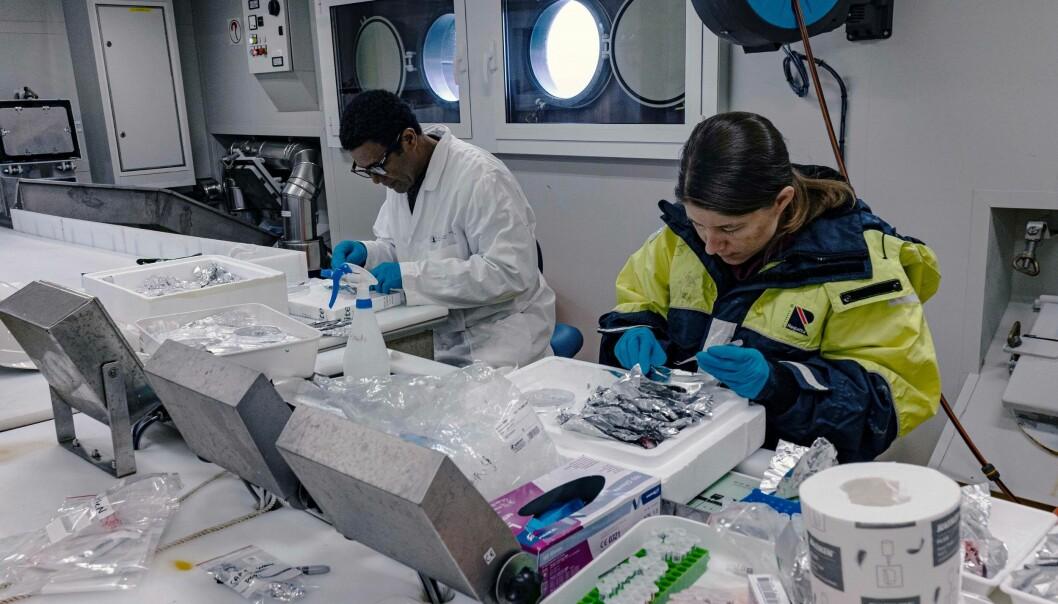 På laboratoriet om bord i 'Kronprins Haakon' dissekerer Nadja Brun ut fisklever, mens Fekadu Yadetie tilsetter ulike miljøgifter til tynne skiver av lever. (Foto: Siv N. K. Hoff, UiO / The Nansen Legacy)
