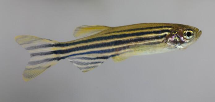 Zebrafisk er gjennomsiktig og godt egnet for studier av nervesystemet. (Illustrasjonsfoto: Colourbox)