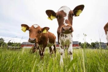 Kuer skal også få prøve de nye fôrtypene. (Foto: Håkon Sparre)