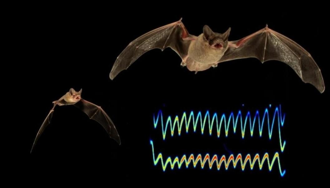 Bildet viser en illustrasjon av signalene flaggermusene sender for å blokkere hverandre fra byttedyr.  (Illustrasjonsfoto: Nickolay Hristov)