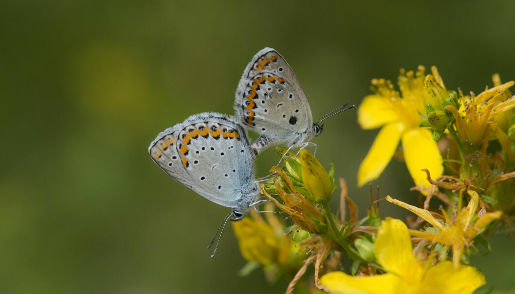 Mange trodde at sommerfuglen Lakrismjelt blåvinge var utryddet, før den ble oppdaget i Oslo i fjor. Sommerfuglarten er fredet og rødlistet.  (Foto: Scanpix/Samfoto, Ove Bergersen)