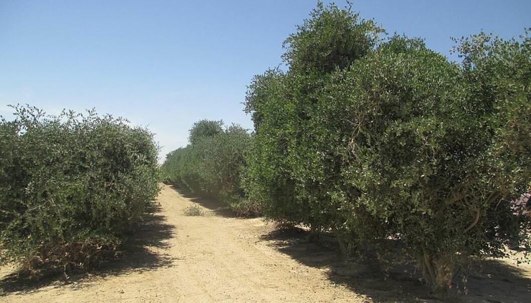 Jojoba-plantasje i Israel. Kan disse hardføre buskene lagre karbon og skape regn? (Foto: Avi1111 dr. avishai teicher, tilgjengeliggjort av Wikimedia Commons)
