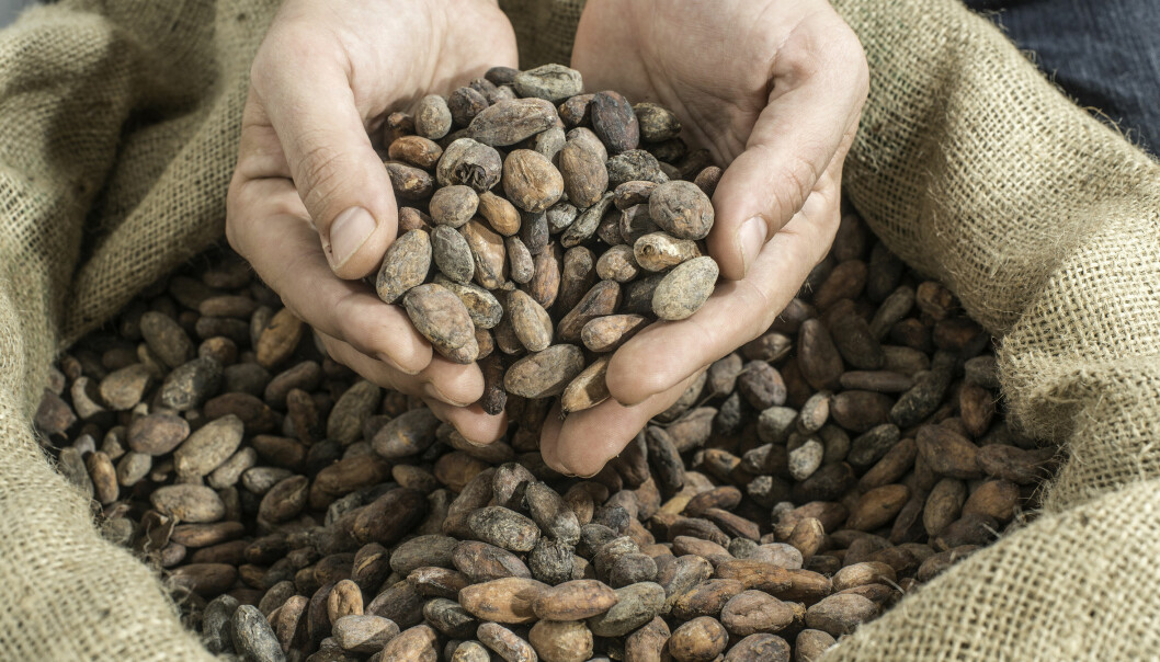 Med alderen får vi dårligere hukommelse. Men ny forskning tyder på at stoffet flavanol, som kommer fra kakaobønner, kan motvirke dette.  (Foto: Microstock)