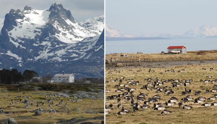 Helgeland (t.v.) har vært det tradisjonelle rasteområdet. I løpet av de siste 25 årene har en økende andel hvitkinngjess oppdaget Vesterålen. (Foto: Paul Shimmings og Ingunn Tombre)