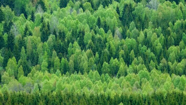 I skogen vår står det nå nesten 2000 trær per nordmann, om du teller trær ned til brysthøyde. Denne skogen står på Romerike i Akershus.  (Foto: Øystein Søbye / NN / Samfoto)
