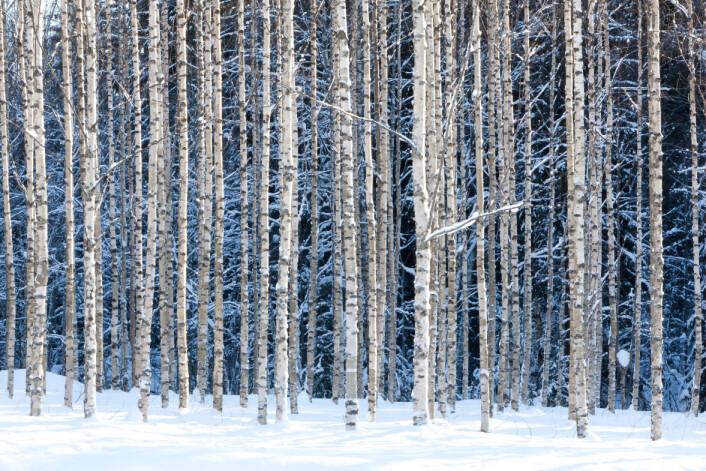 I syd har de eviggrønne skoger, her i nord felles bladene om høsten. Er det nødt til å være sånn? (Foto: Microstock)