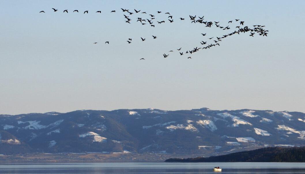 Forskning viser at trekkfuglene gradvis har trukket nordover, langsomt utvidet sitt leveområde, mens de samtidig har flydd sydover om vinteren. Der insektene er. (Foto: NTB Scanpix)