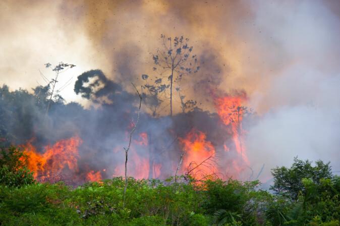 Det er menneskene som tenner på brannene i Amazonas – for å produsere kjøtt og dyrefôr. (Foto: Pedarilhosbr / Shutterstock / NTB scanpix)