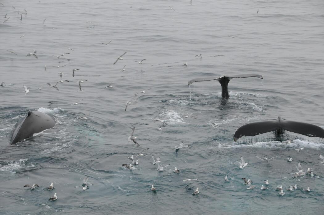 Forskere deler gjerne Bardehvaler i to grupper: De som lever i Arktis hele tiden og de som vandrer mellom Arktis og varmere farvann. Bildet viser knølhval som jakter på loddestimer rett øst for Jan Mayen. (Foto: Leif Nøttestad, Havforskningsinstituttet)