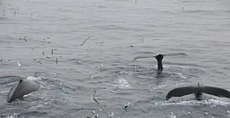 Langt flere vandrende bardehvaler i Atlanteren enn i Stillehavet