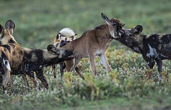 Solving the mystery of Serengeti's vanishing wild dogs