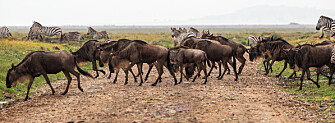 Wildebeest and zebras in Serengeti National Park in Tanzania. (Photo: Per Harald Olsen, NTNU)