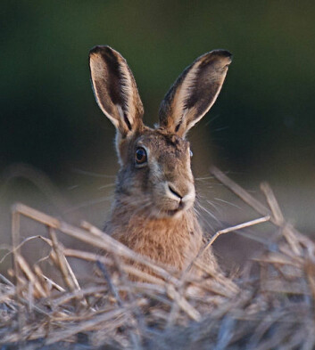 "Sørhare, <em>Lepus europaeus</em>. (Foto: Nic Relton, <a href=""http://creativecommons.org/licenses/by-nc/2.0/deed.no"">Creative Commons</a>)"
