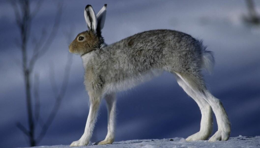 "Hare, <em>Lepus timidus</em>. (Foto: Erlend Haarberg, <a href=""http://creativecommons.org/licenses/by-nc/3.0/deed.no"">Creative Commons</a>)"