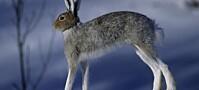 Ukas art: Hare – med næringsrik møkk