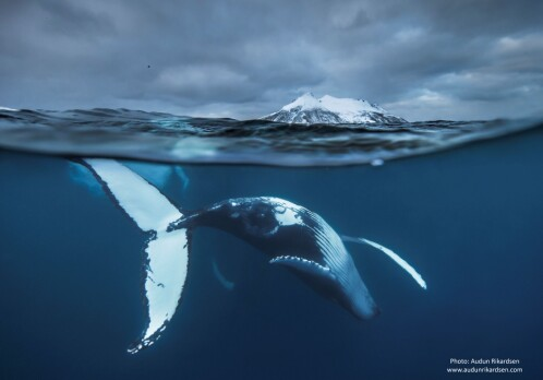 Why does the humpback whale migrate?