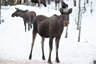 The moose does not get sick of the tick-borne virus, but the virus can still infect people via tick bites. By monitoring the infection among cervids, health authorities can provide better infection warning. (Photo: Veterinærinstituttet)