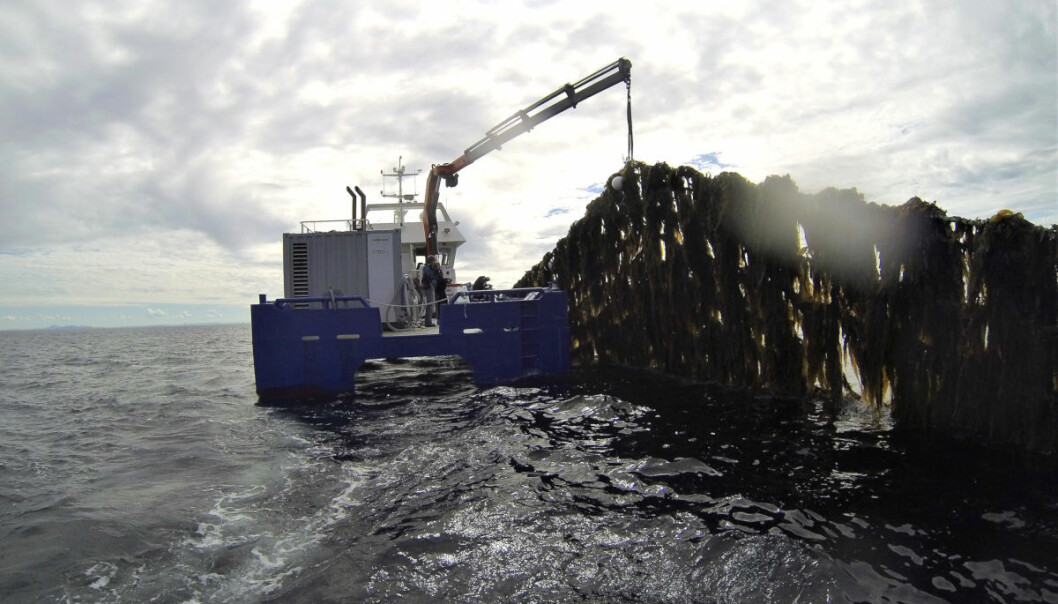 In 2017, the production of farmed kelp in Norway was 145 tons. However, by 2050 the production is projected to reach 20 million tons! Here from kelp farming by Frøya in Sør-Trøndelag. (Photo: Seaweed Energy Solutions)