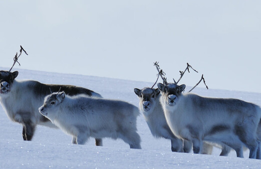 When the extreme becomes the norm: Svalbard reindeer cope with dramatic climate change