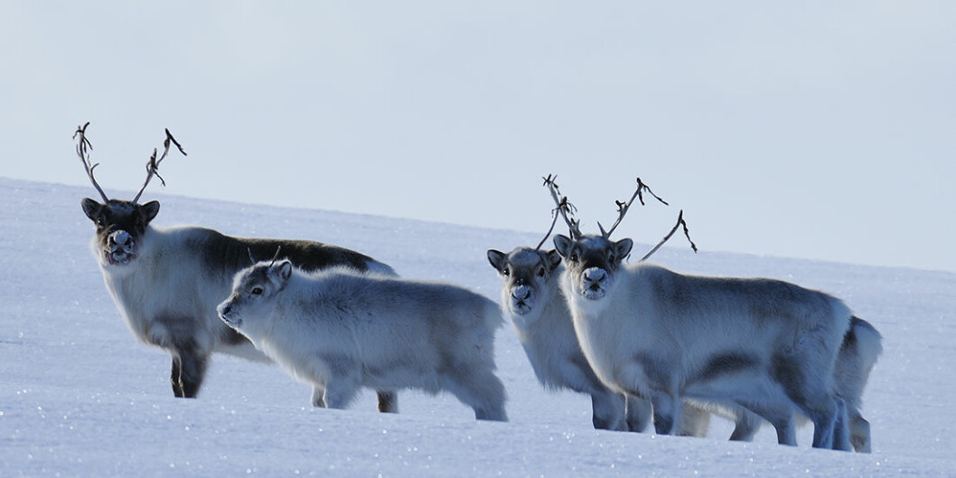 Reindeer on Svalbard are a separate subspecies from their continental cousins. New research shows that extreme climate events in the Arctic actually will help stabilize populations, not cause them to go extinct. (Photo: Erik Ropstad)