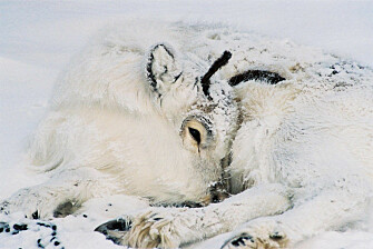 Svalbard's reindeer are perfectly adapted to the harsh climate there. New research shows they also appear to be able cope with extreme climate change, in part because more vulnerable animals, like this calf, will die off during extreme events, leaving only the strongest animals to survive. (Photo: Erik Ropstad)