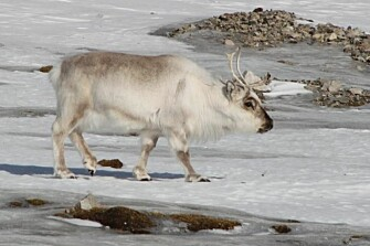 Reindeer on ice. Rain-on-snow events that increasingly characterize winters on Svalbard will not cause reindeer to go extinct, new research shows. (Photo: Brage B. Hansen)