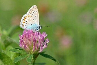 The common-wing butterfly (Polyommatus icarus) is also fond of flowers. (Photo: Colourbox)
