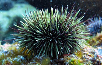 Sea urchin grazing of kelp may worsen negative effects of oil spill in the Arctic