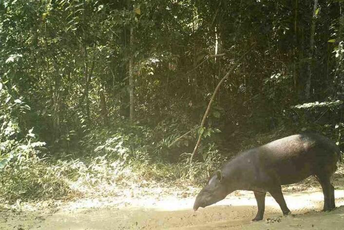 Ved eit vatnhol har Wiig sett opp kamera som fotograferer dyra som kjem for å slokka tørsten, her ein tapir. (Foto: Øystein Wiig, NHM)