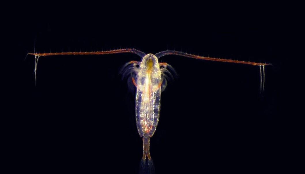 Denne karen lagrer solenergi ved å spise seg feit på planteplankton. (Foto: Sindre A. Pedersen, NTNU)