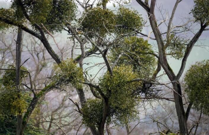 """Den vintergrønne mistelteinen er lettest å få øye på om vinteren, når vertstreet står uten løv. (Foto: Tom Vooght, <a href=""""http://creativecommons.org/licenses/by-sa/2.0/deed.no"""">Creative Commons</a>)"""