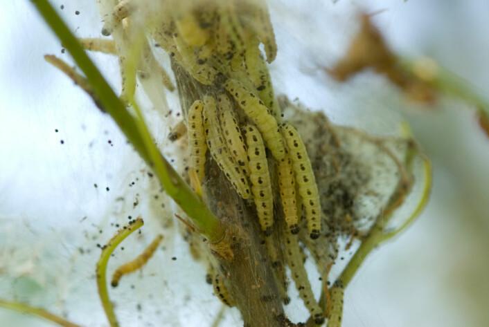 Heggspinnmøll-larver. (Foto: Dan Aamlid)