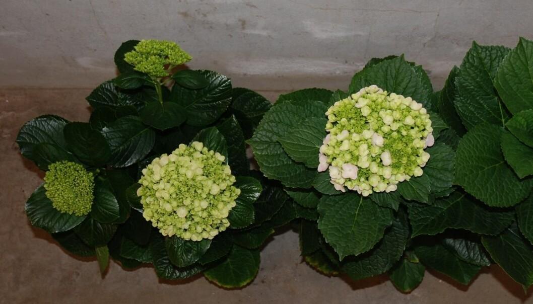 Planten til venstre har hatt moderat temperatur under knoppdanningen og har utviklet tre blomster. Planten til høyre, med bare én blomst, har hatt høyere temperatur under knoppdanningen. (Foto: Henry Bedoya)