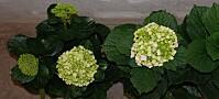Gentest gir ny blomstring for hortensiadyrkerne