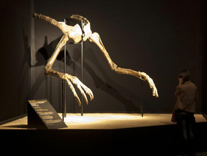 Dette var alt vi visste om Deinocheirus mirificus før de nye funnene. Armene har stått utstilt i Barcelona. (Foto: Jordi Payà/Creative commons)